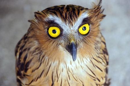Wild eagle owl living in jungle of paradise island Penang. photo