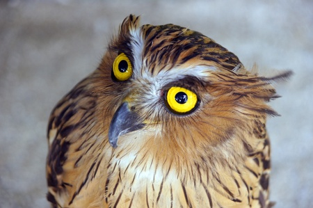 Wild eagle owl living in jungle of paradise island Penang.