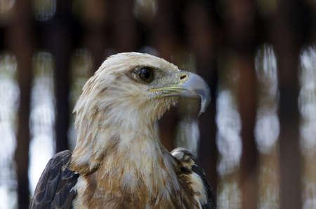 Wild eagles living at coast of paradise island Penang. photo
