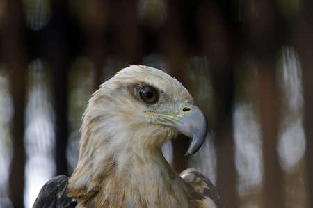 Wild eagles living at coast of paradise island Penang. Stock Photo