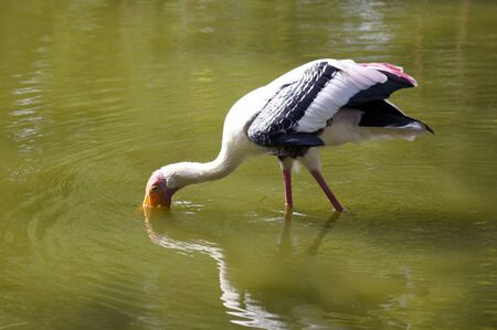 Storks in the nature of paradise island Penang.