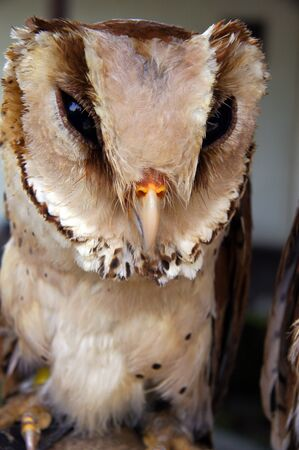 Wild owl living in ancient jungle of island Penang. photo