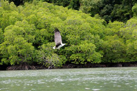 Wild eagles living of paradise island Langkawi. photo