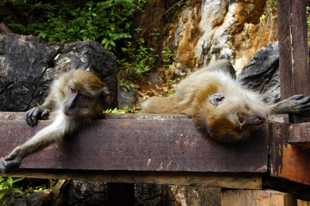 Monkeys frolic on freedom in island Langkawi jungle photo