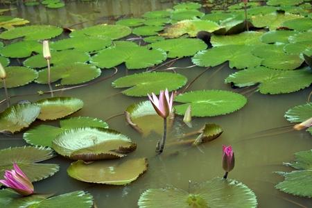 Lotus in high-mountainous tropical lake of paradise island Borneo.