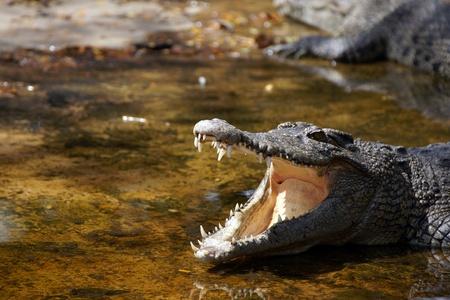 Crocodile living in natural conditions in the rivers island Borneos. Stock Photo