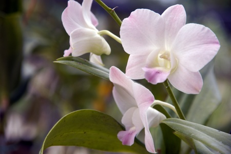 Wild orchids of high-mountainous Borneo. The paradise fallen asleep butterflies.  Stock Photo