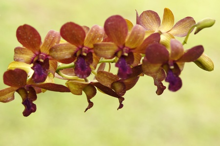 Wild orchids of high-mountainous Borneo. The paradise fallen asleep butterflies.  photo