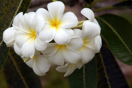 Wild frangipani of high-mountainous Borneo. The paradise fallen asleep butterflies.  Stock Photo - 9054932