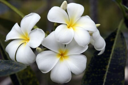 Wild frangipani of high-mountainous Borneo. The paradise fallen asleep butterflies.  Stock Photo - 9054908