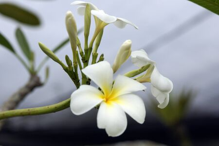 Wild frangipani of high-mountainous Borneo. The paradise fallen asleep butterflies.
