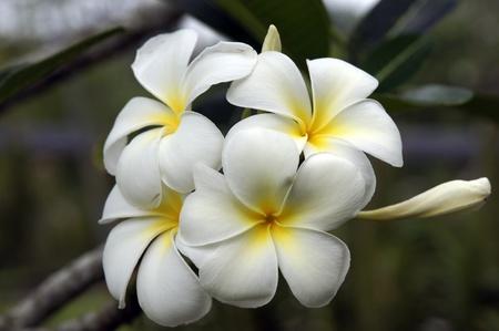 Wild frangipani of high-mountainous Borneo. The paradise fallen asleep butterflies.