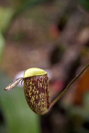 Nepenthes eating insects growing in the nature of Borneo. photo