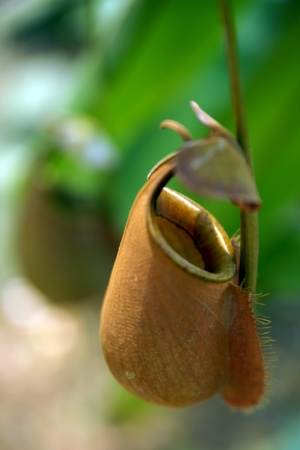 Nepenthes eating insects growing in the nature of Borneo.