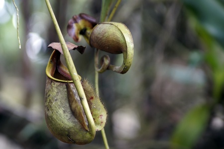 pitfall: Nepenthes eating insects growing in the nature of Borneo.