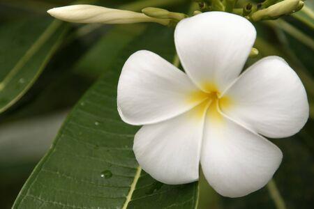 Wild frangipani of high-mountainous Borneo.