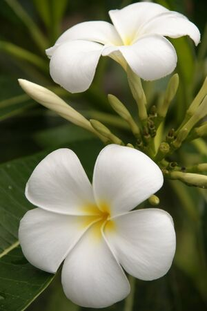 Wild frangipani of high-mountainous Borneo.