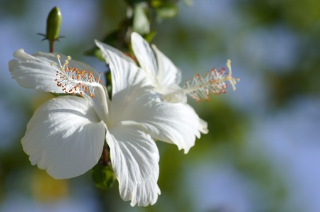 Wild flowers of highmountainous Borneo. Hibiskus of Borneo.