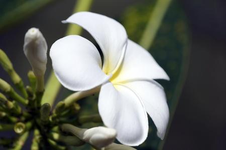 Wild frangipani of high-mountainous Borneo. The asleep butterflies.