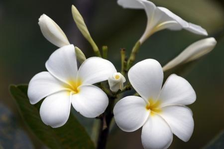flores exoticas: Frangipani salvaje de Borneo de alta montaña. Las mariposas dormidas.