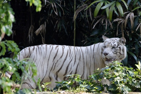 White Benagal Tiger Stock Photo - 10675679