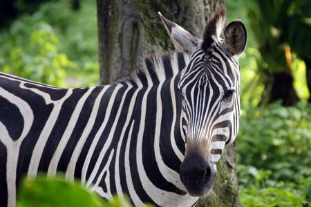 Graceful Zebra Stock Photo - 10676000
