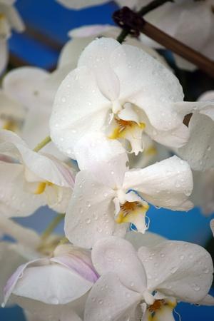 Wild orchids of highmountainous Borneo. The paradise butterflies. photo