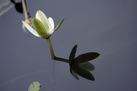lilies: Water Lily