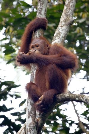 wildlife conservation: Orang