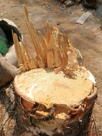 big Pine stump from gardener cutting