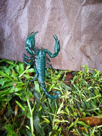 dark green scorpion on the floor at camping area in Thailand nation Forest Stock Photo