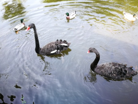Black couple gooses in Thailand Nation park that  tourist attraction Stock Photo