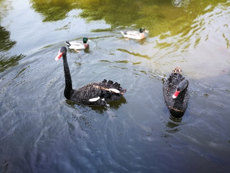 Black couple gooses in Thailand Nation park that  tourist attraction Reklamní fotografie