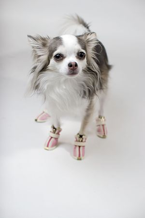 whote: Blue and Whote Long Coat Chihuahua wearing pink boots
