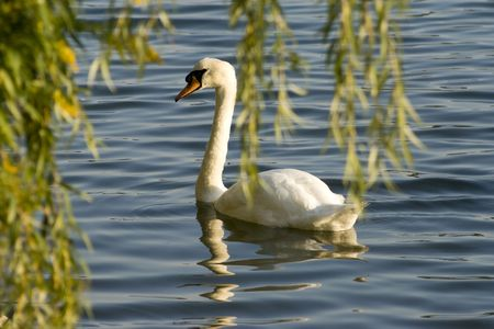 Swan between branches of weeping willow photo