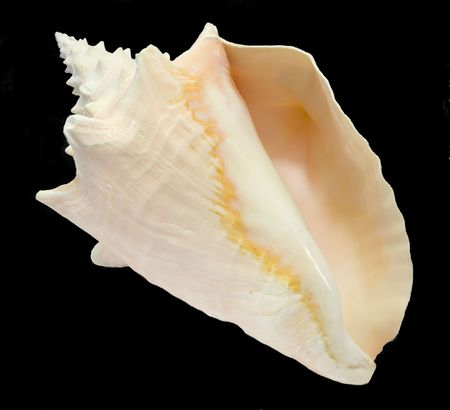 Conch Seashell isolated on black background, bottom inside