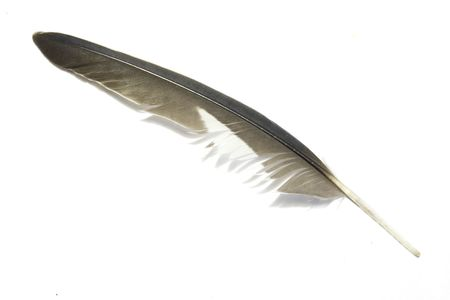 Grey feather with white background