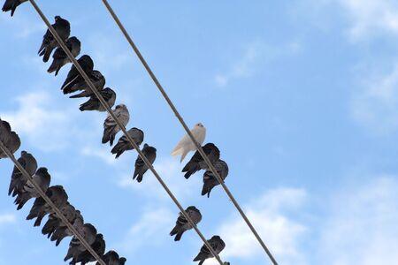 Pigeons at the street of snowed Toronto 7