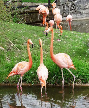 Conversation between three pink flamingo in the Zoo of Toronto Stock Photo
