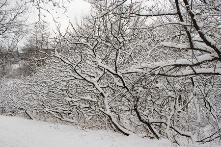 high park: Pizzo alberi in inverno Parco Alto di Toronto  Archivio Fotografico