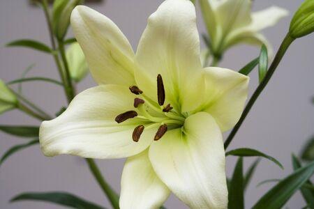 Macro close-up of white Madonna lily flower 版權商用圖片