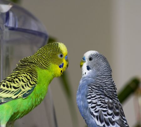 Two parakeets face-by-face in love photo