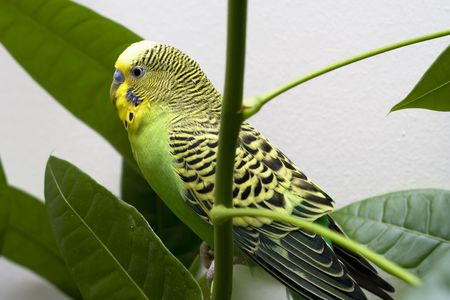 Macro close-up of classic green parakeet between leafs of rubber plant