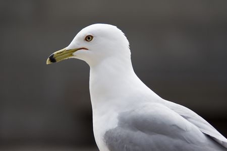 mob: Close-up portrait of seagull Stock Photo