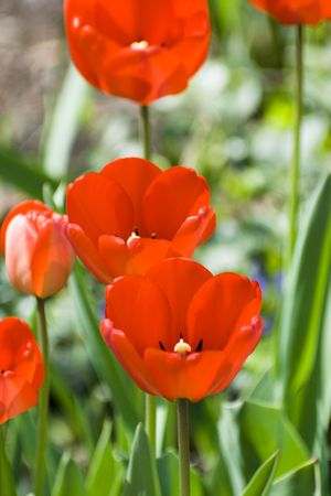 blossoming red tulips Imagens