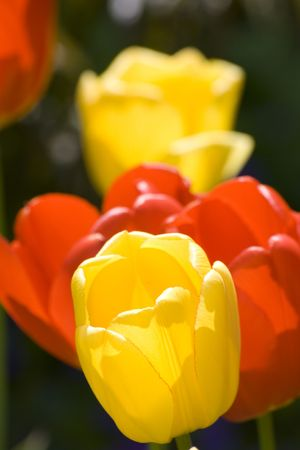 Macro close-up bunch of yellow and red tulips