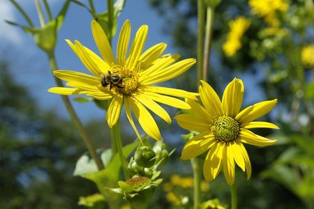 Macro close-up of yellow ox-eye daisy with blue clouded sky Stock Photo - 3496052