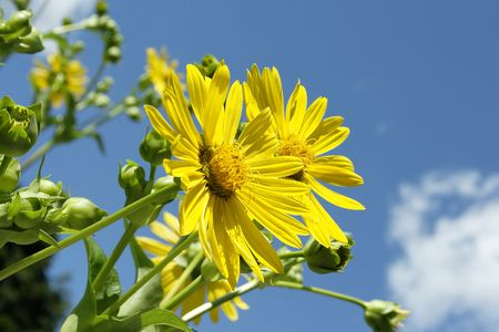Macro close-up of yellow ox-eye daisy with blue clouded sky