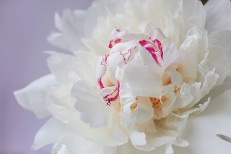 beautiful white peony with pink splashes close up on lilac background Imagens