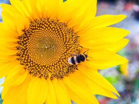 large striped bumblebee pollinates a yellow sunflower, outdoors, close-up Banco de Imagens